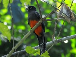 bairds-trogon-female