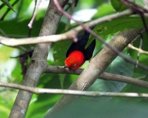 red-capped-manakin-dance