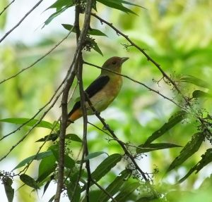 Birding in Costa Rica South of Limon at Casa Calateas