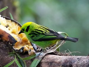 emerald-tanager