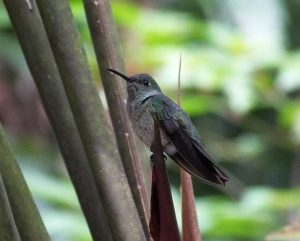 scaly-breasted-hummingbird