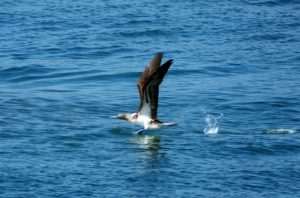 blue-footed-booby