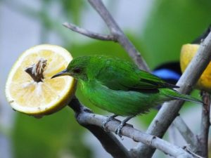green-honeycreeper