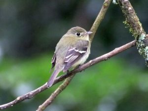 yellow-bellied-flycatcher