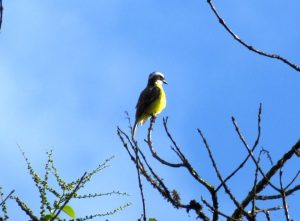 Identification Tips for White-ringed Flycatcher