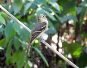 Northern Scrub Flycatcher- the Mini-Myiarchus