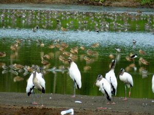 A Morning of Shorebirds, Waders, and More in Costa Rica