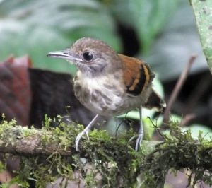 Cold Front Birding in Costa Rica at Arenal Observatory Lodge