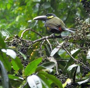 Now is a Good Time to See Yellow-eared Toucanet in Costa Rica