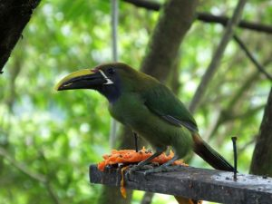 Changes to the Costa Rica Bird List – Plus One, Minus Two