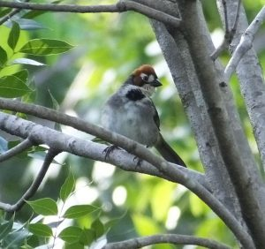 Where and How to See Cabanis's Ground-Sparrow