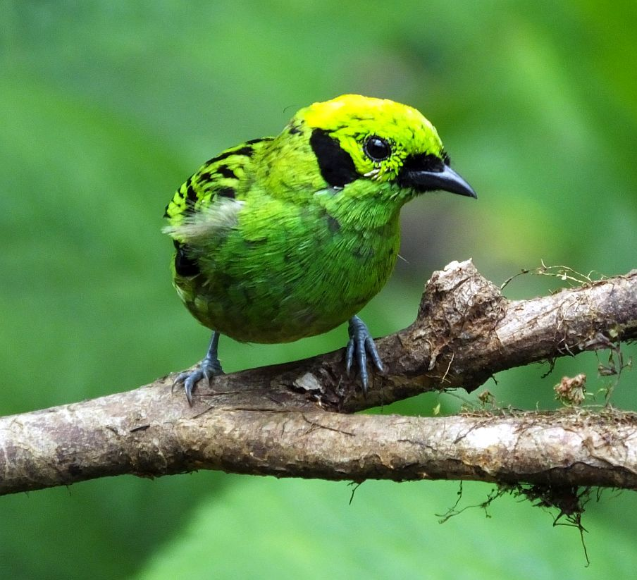 emerald tanager in Costa Rica
