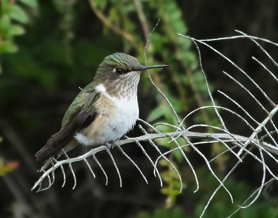 The Corso Lecheria Hummingbird Stop
