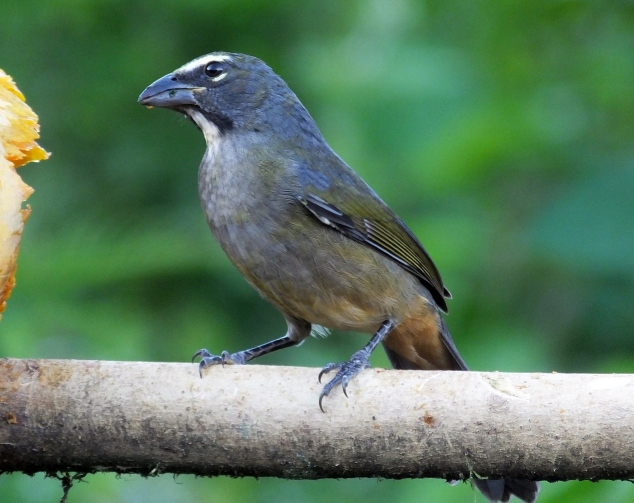 Streak-chested Antpitta in Costa Rica- One or Two Species?
