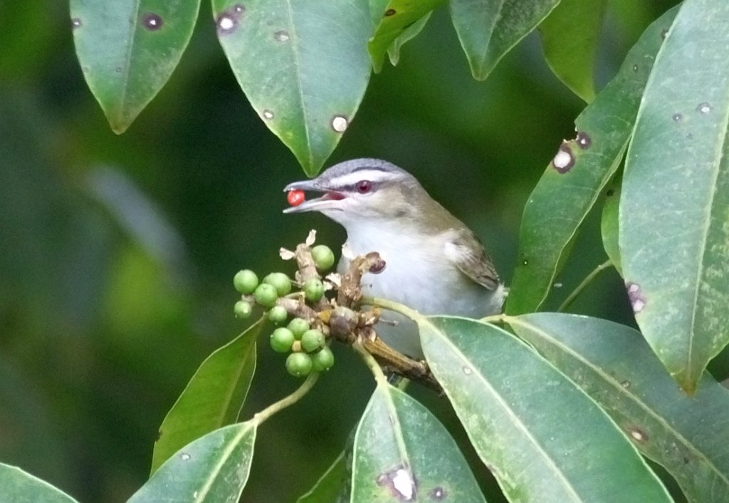 The Situation with Yellow-Green Vireos and Related Species in Costa Rica