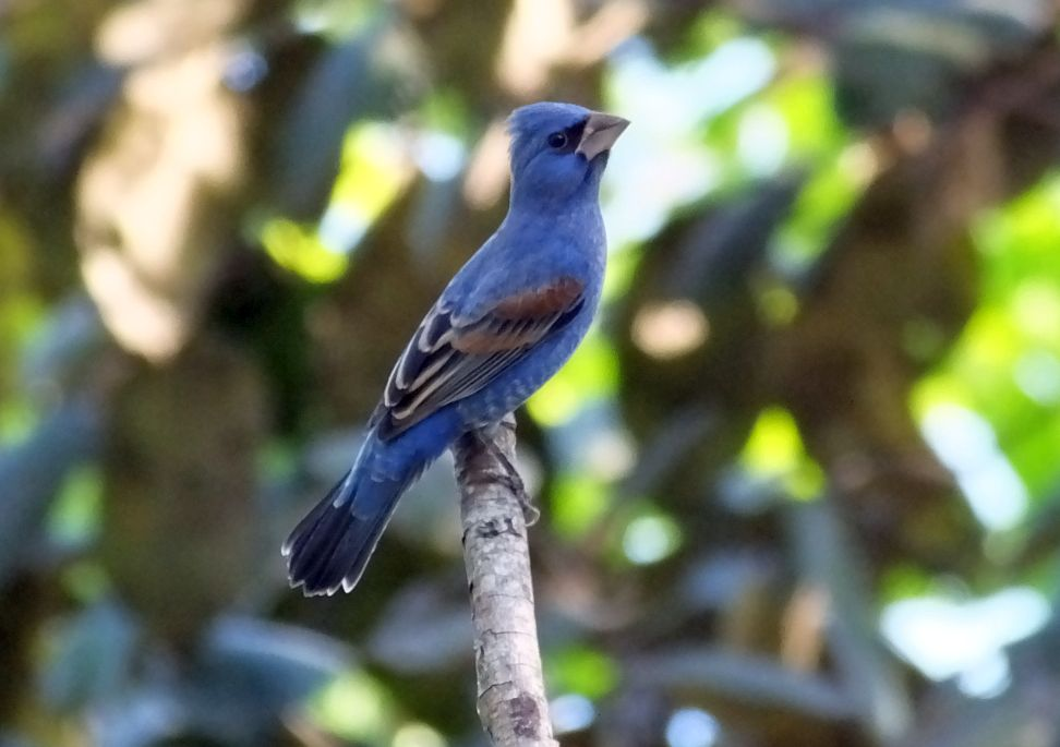 Blue Grosbeaks and Birding News from Costa Rica, June, 2020