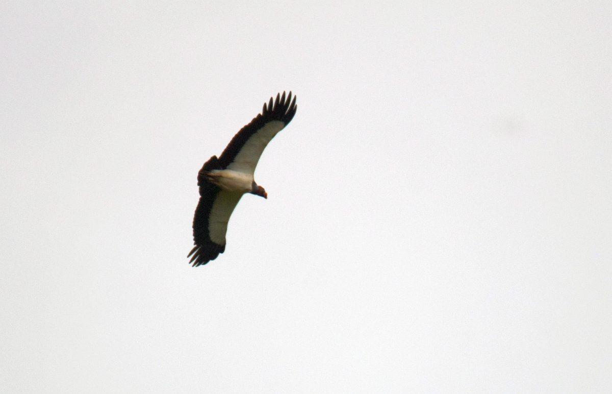 King Vulture flight