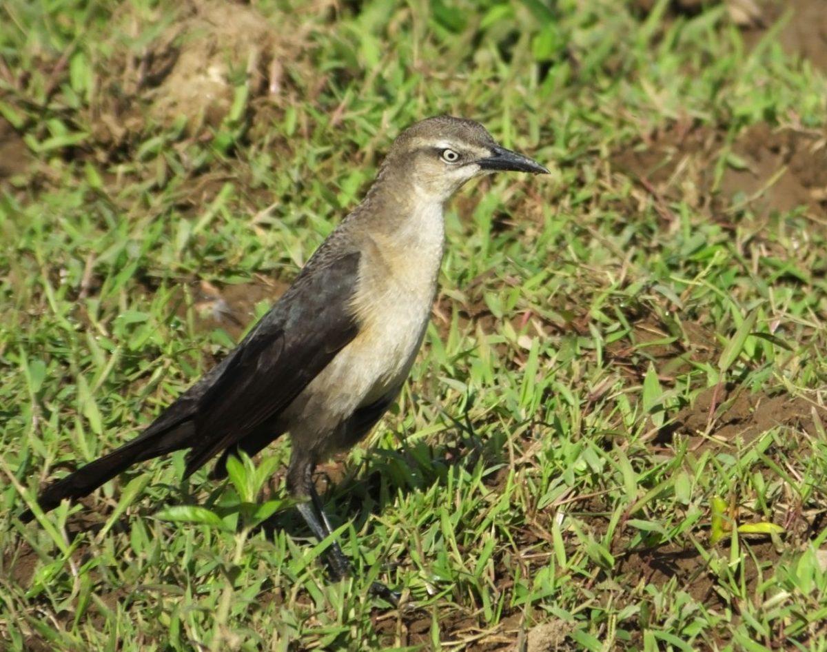 Nicaraguan-Grackle-female