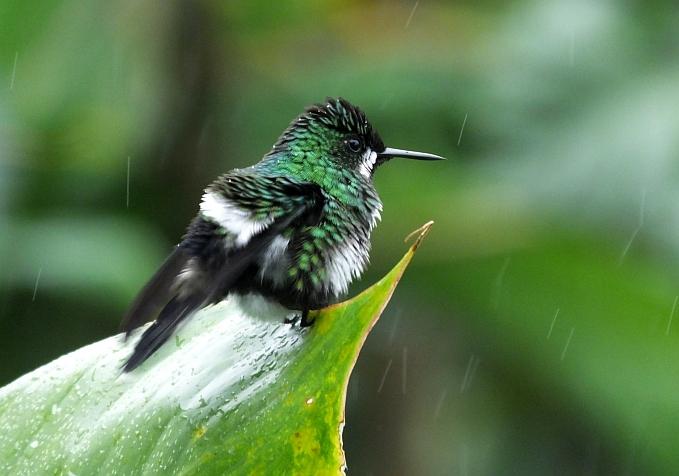 Green Thorntail female
