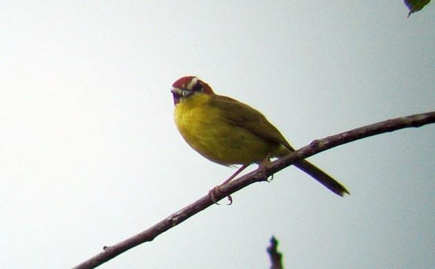 Chestnut-capped-Warbler