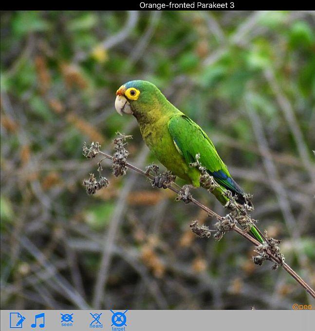 orange-fronted-parakeet